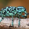 Botany Bay Diamond Weevil