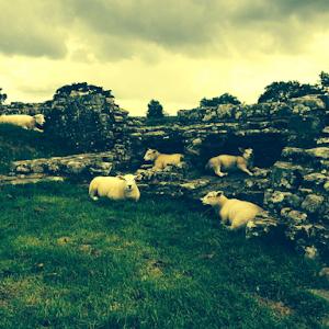 Sheep At Hadrian's Wall.jpg