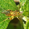Golden Yellow Chalcid Wasp