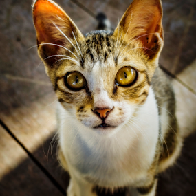 Pretty, Before You Go by Putra Bustami - Animals - Cats Portraits ( cat )