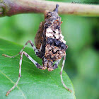 Bark mantis nymph