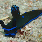 Morose Tambja nudibranch