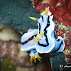 Loch's Chromodoris