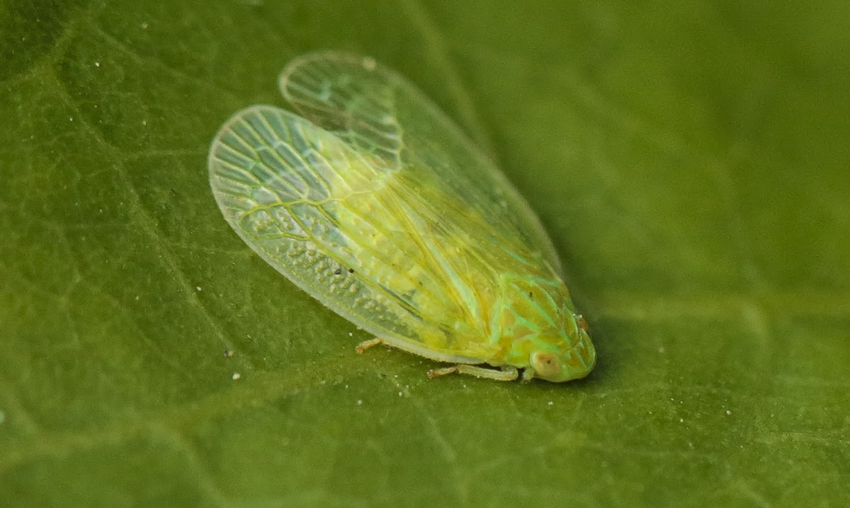 Grainy Planthoppers