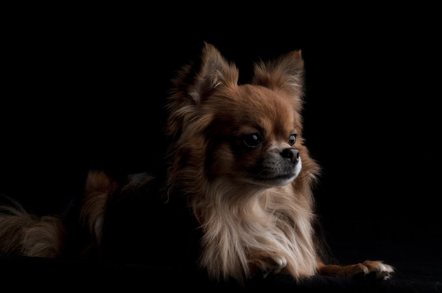 by Kurt Franken - Animals - Dogs Portraits