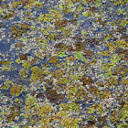 Floating Water Moss