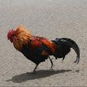 Moa / Junglefowl / feral chicken