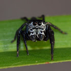 Round ant eater Jumping Spider
