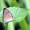 Long-tailed Blue (亮灰蝶)