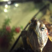 Necmi : A Pet Turtle