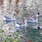 chinese x Graylag goose Hybrids.