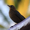 Mexican Grackle