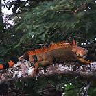 Male green iguanas