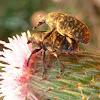 Weevils (copulation)