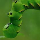 Laurel Sphinx moth larva