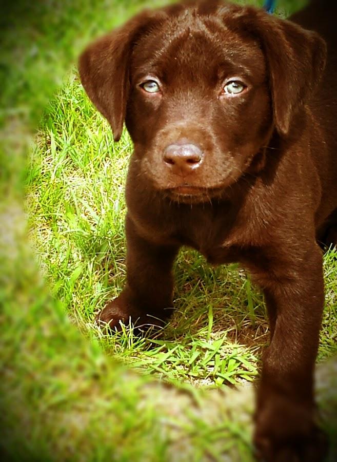 Chocolate Lab Puppy by Dawn Slocik-Mclaughlin - Animals - Dogs Portraits