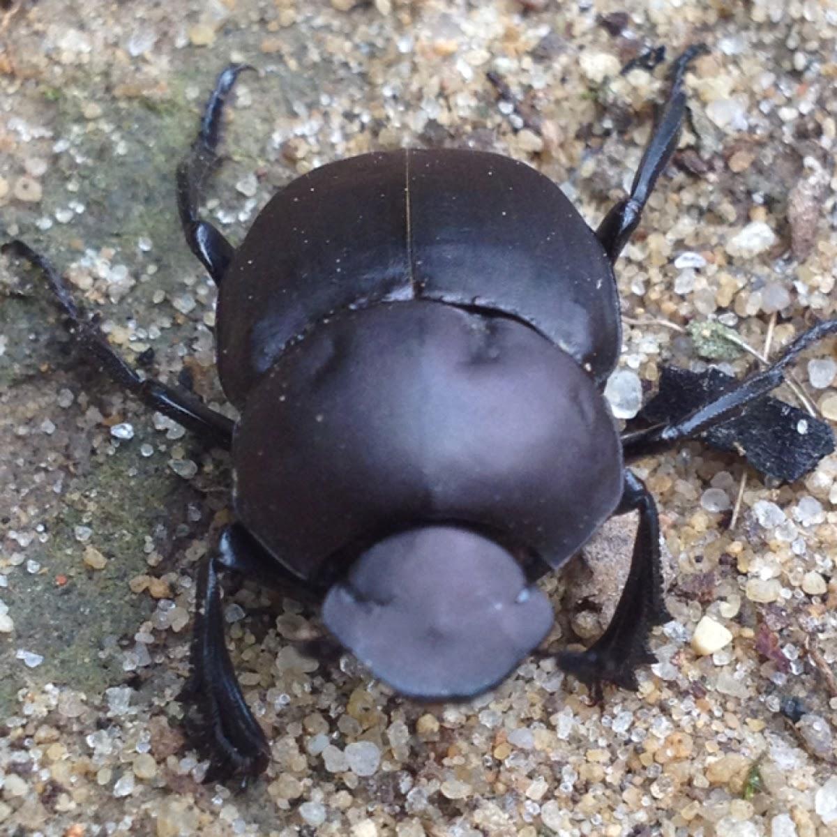 Tumblebug (dung beetle)