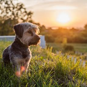 Ari by Dejan Stanic - Animals - Dogs Portraits