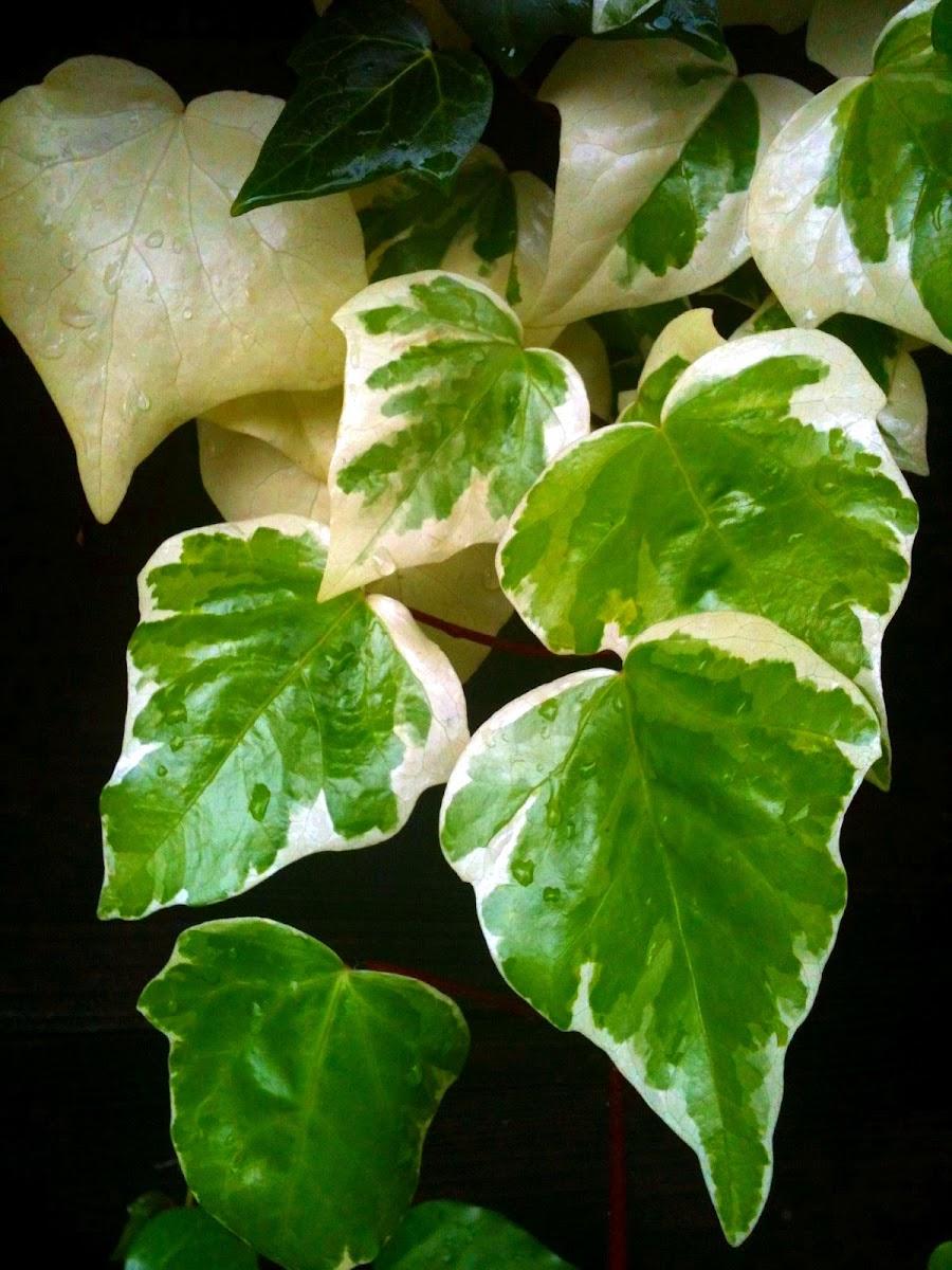 'Gloire de Marengo', Variegated Algerian Ivy