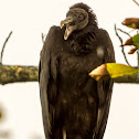 Black Vulture / Zopilote