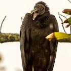 Black Vulture / Zopilote