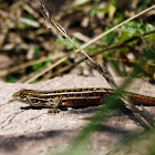Lagartija Esbelta (Hembra) / Jewel Lizard (Female)