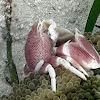 Porcelain Crab Anemone
