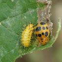 Mexican bean beetle
