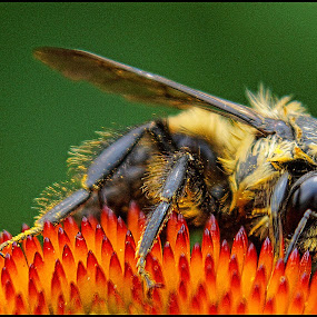 Bee Closeup #2 by Joseph T Dick - Animals Insects & Spiders