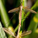 Large Crane Flies
