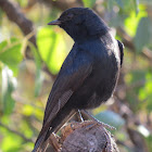 fork tailed Drongo