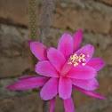 Aporocactus