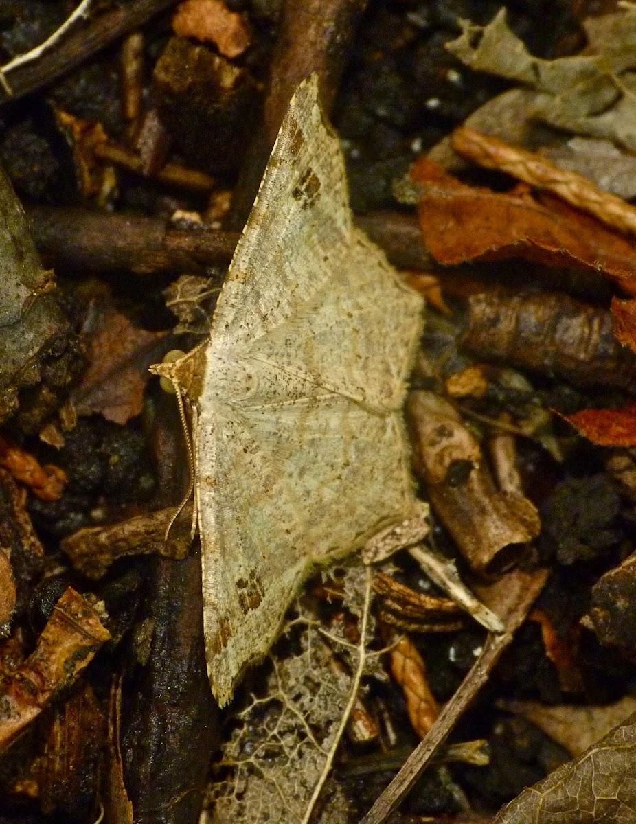 Birch angle moth