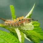 Rusty tussock moth caterpillar
