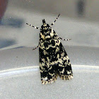 Crambid Moth