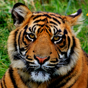 Tiger Wallpapers Android Apps On Google Play