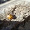 Ten-spotted Ladybird / Žuta bubamara 10 točaka