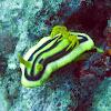 Chromodoris joshi