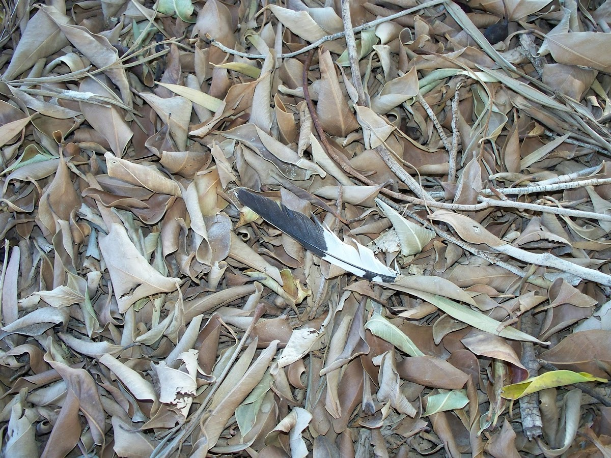 Northern Mockingbird feather