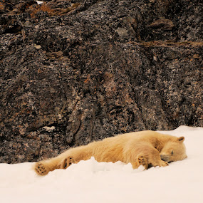 MidSummer Night's Dream by Linda Labbe - Animals Other Mammals ( rock cliff, alpen glow, snow, arctic, polar bear, norway )