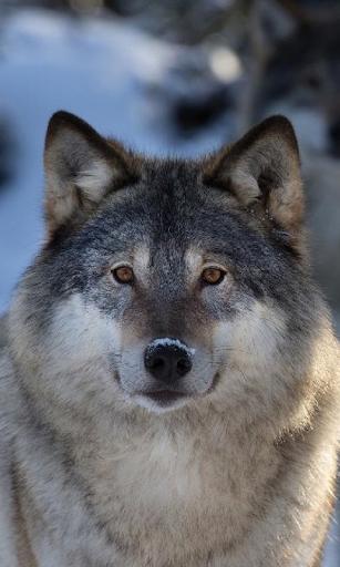 Wölfe Lebende Tapeten