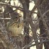 Gorrión de Lincon, Lincoln's Sparrow