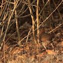 Grey Junglefowl (hen)