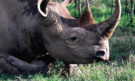 Rhinoの壁紙