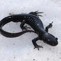 Jefferson's Salamander