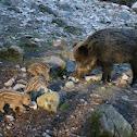 Porco selvagem, Wildschwein