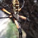 Garden spider species