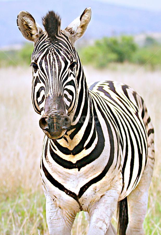 Portrait by Pieter J de Villiers - Animals Other ( mammals, animals, other, south africa, zebra, portrait, pilanesberg national park,  )
