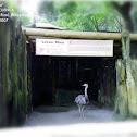 Lesser Rhea or Darwin's Rhea