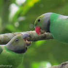 Layard's Parakeet